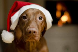 Picture of Vizsla wearing a Christmas hat