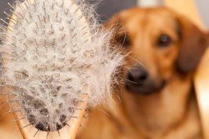 Picture of hair brush full of dog hair