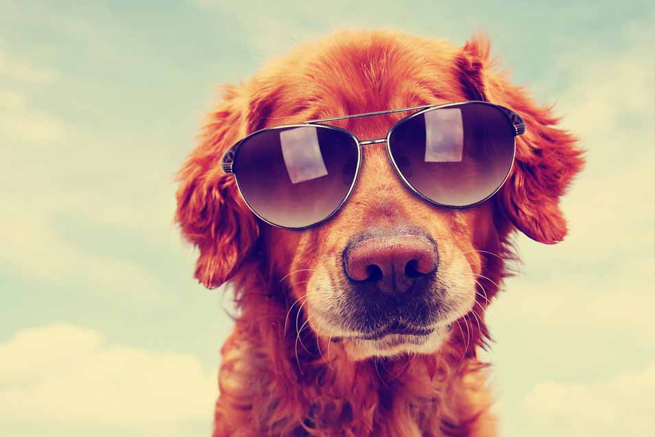 Picture of a dog wearing sunglasses