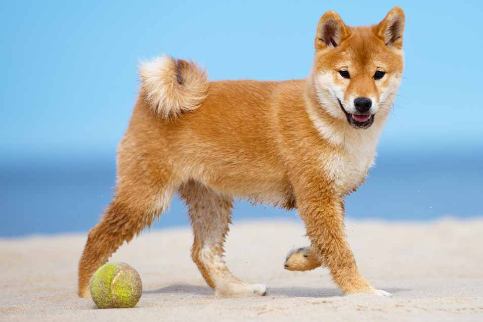 Picture of an Shiba Inu