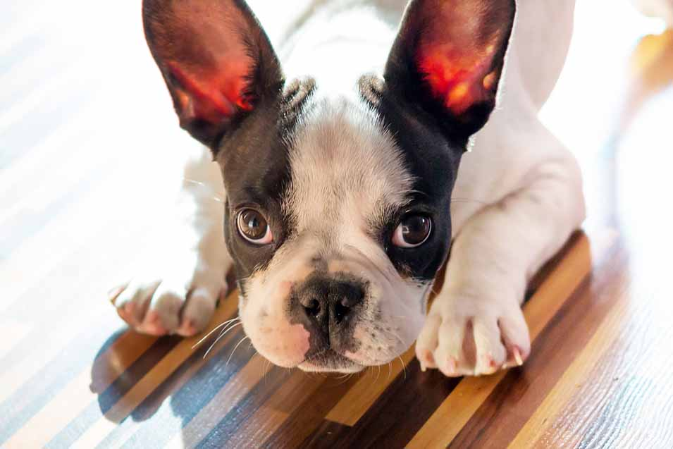 Picture of French Bulldog on a hardwood floor