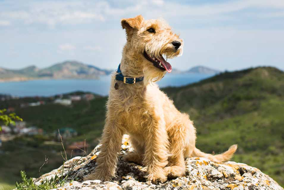 Picture of a Terrier sitting on a rock