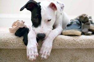 Picture of a dog with shoes and socks