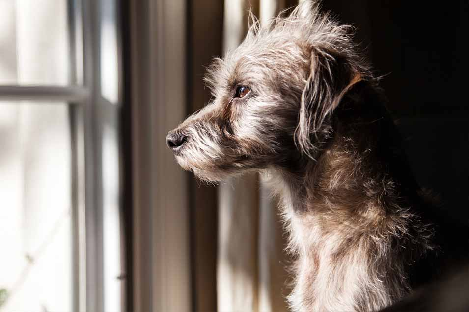 Picture of a dog looking out a window