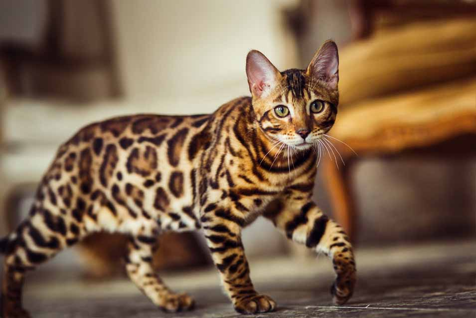 Picture of spotted cat in living room