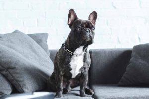 Picture of of a French Bulldog on a sofa