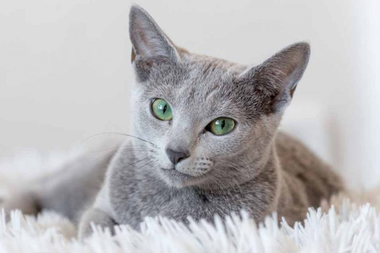 Picture of a grey cat