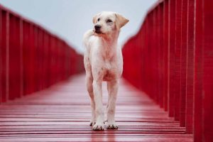 Dog walking on a red painted deck