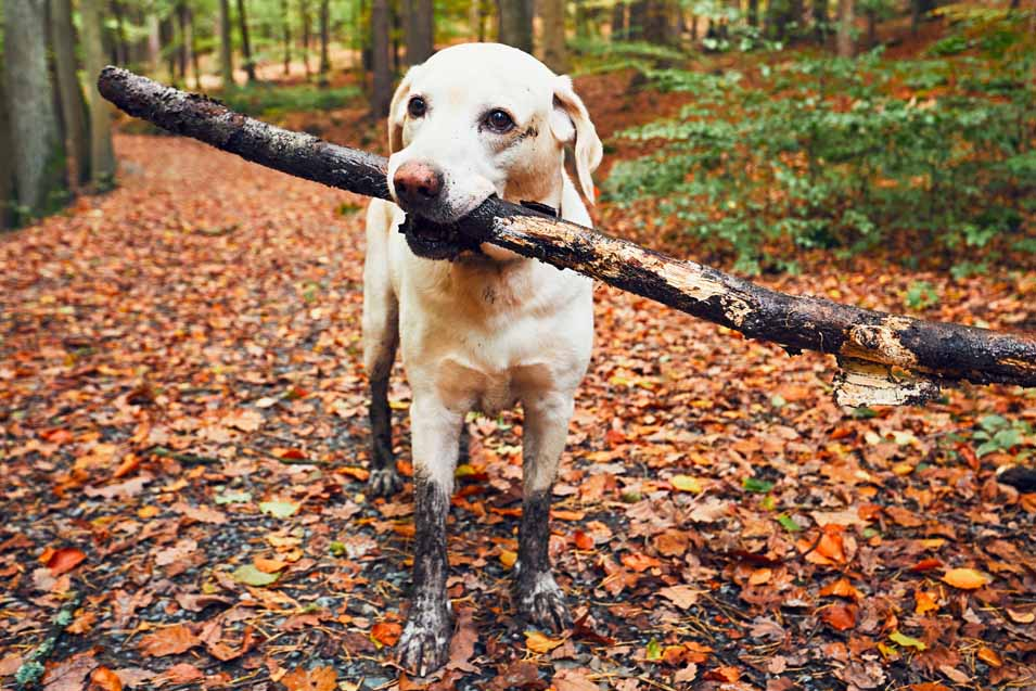 Picture of a dog carrying a stick