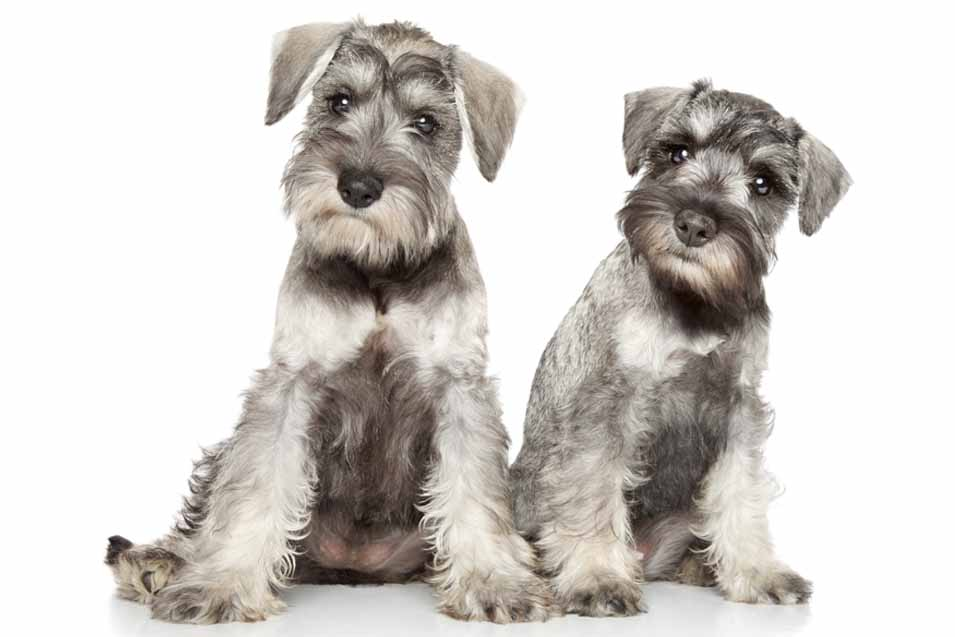 Picture of 2 Schnauzers