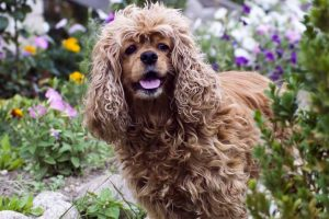 Picture of a Cocker Spaniel in a garden