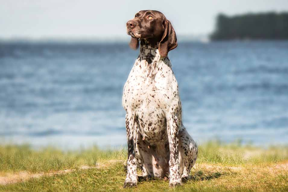 Picture of a German Short-Haired Pointer
