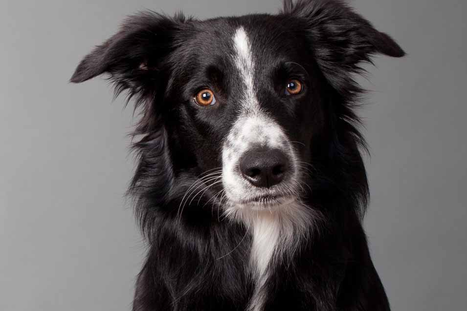 Picture of a black and white Border Collie