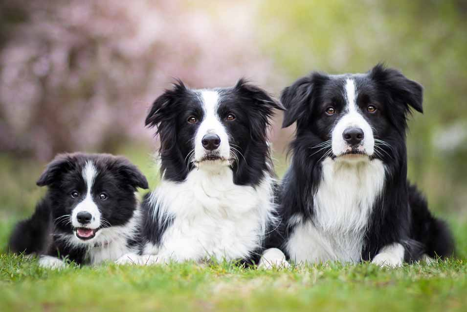 Picture of a Border Collie