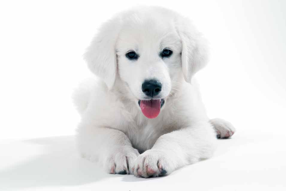 Picture of a white puppy