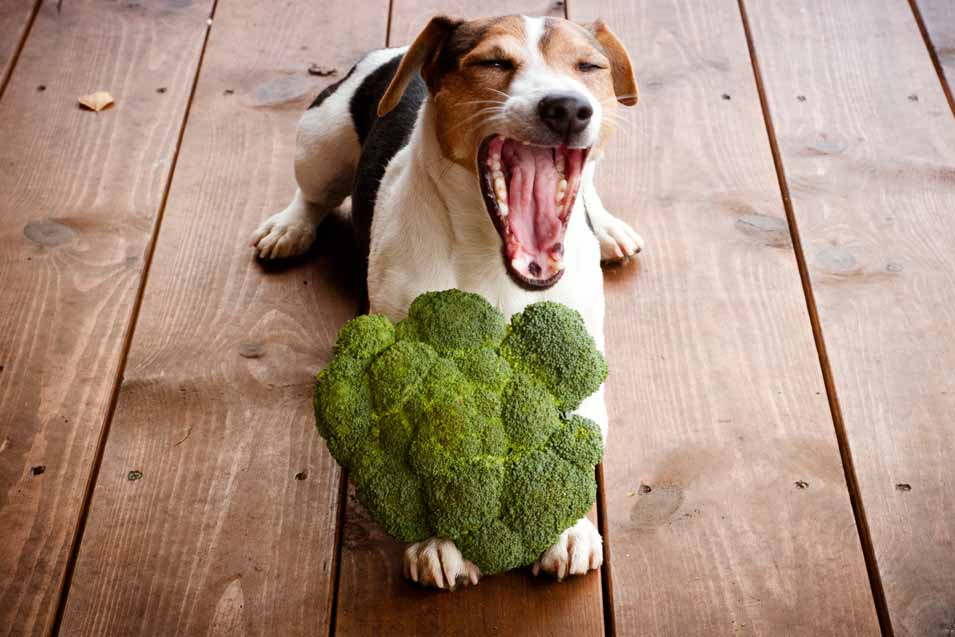 Picture of a dog eating broccoli