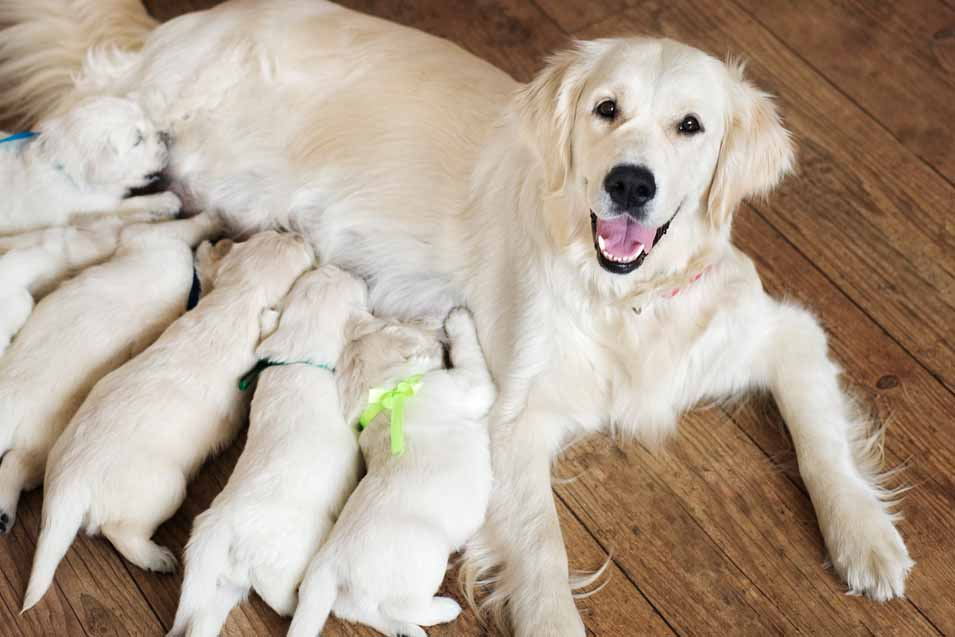 Picture of a Golden Retriever and her puppies