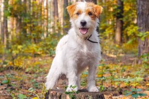 Picture of a Jack Russell