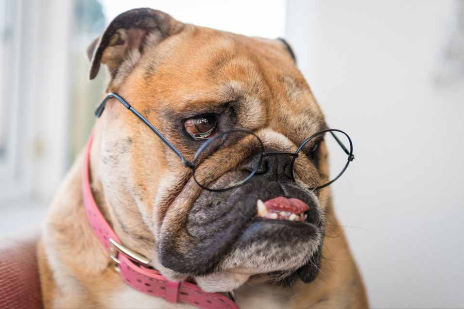 Picture of Bulldog wearing Harry Potter Glasses