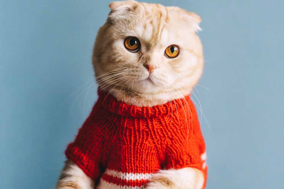 Picture of a cat in a sweater