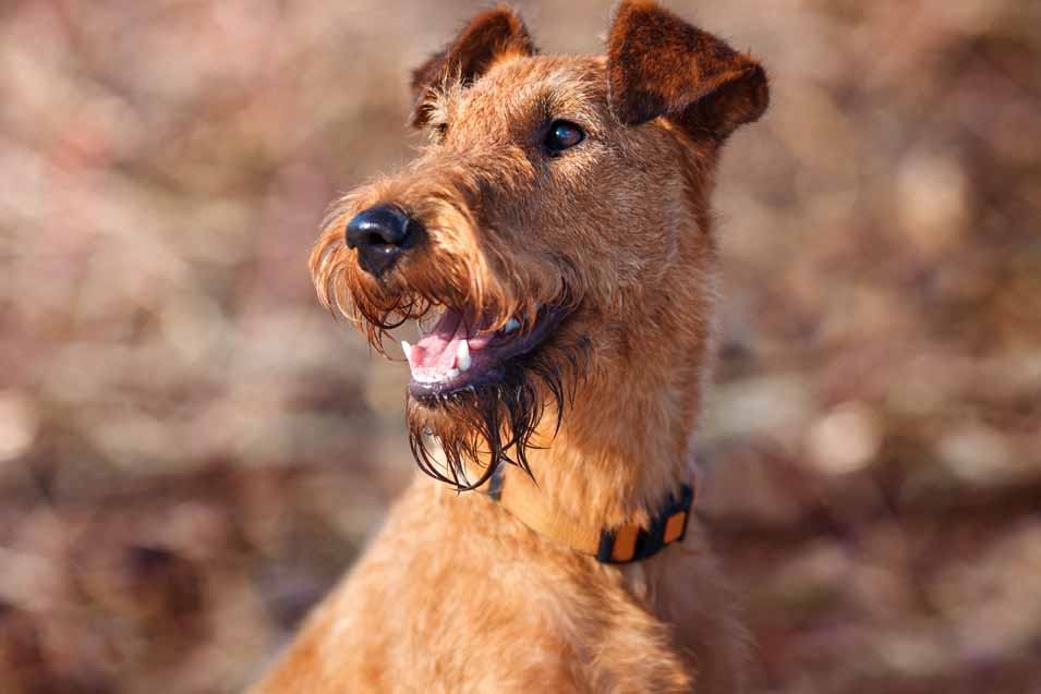 Picture of an Irish Terrier