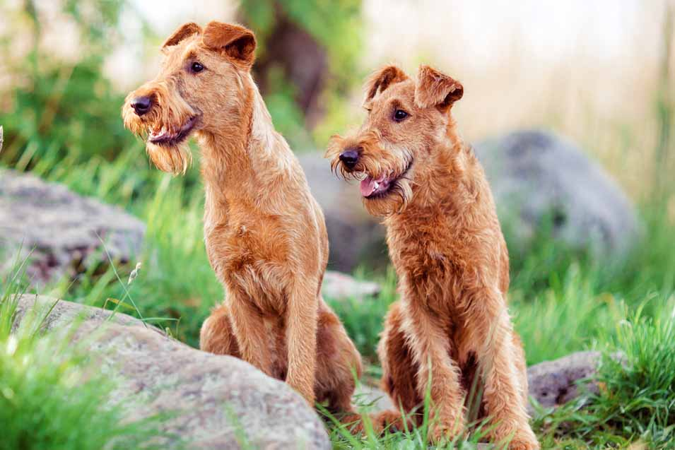 Picture of 2 Irish Terriers