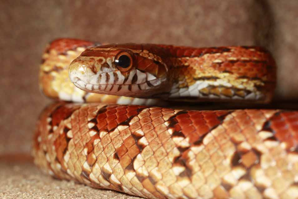 Picture of an orange corn snake