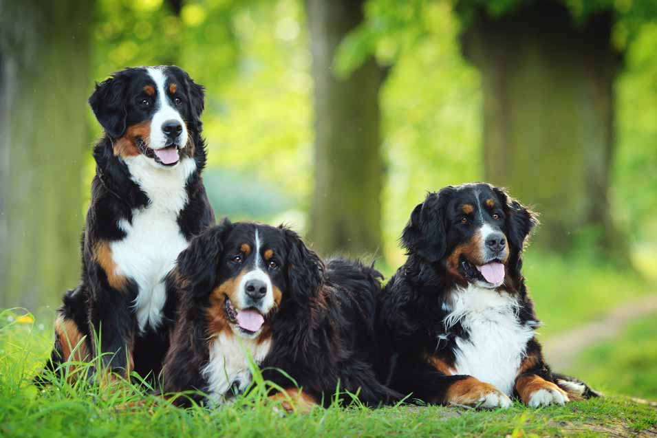 Picture of several Bernese Mountain Dogs