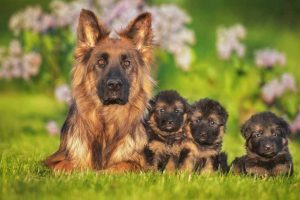 Picture of German Shepherd with puppies