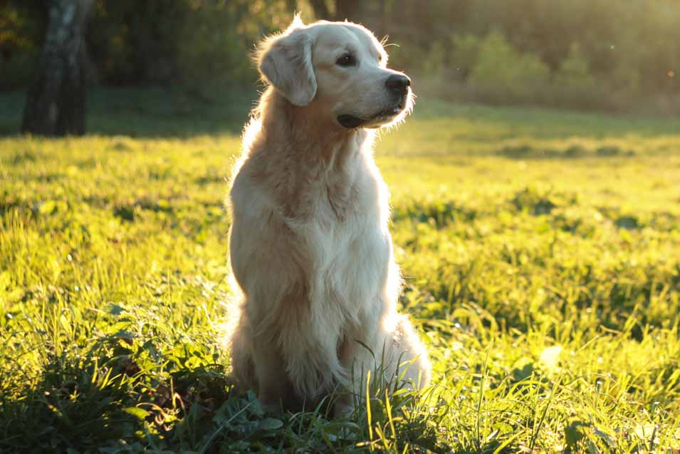Picture of a Golden Retriever in a Field