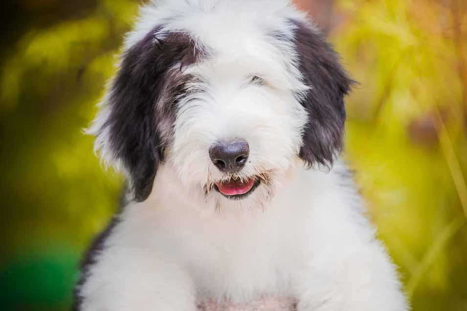Picture of a Old English Sheepdog Puppy