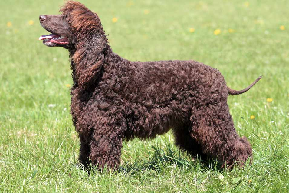 Picture of a Irish Water Spaniel