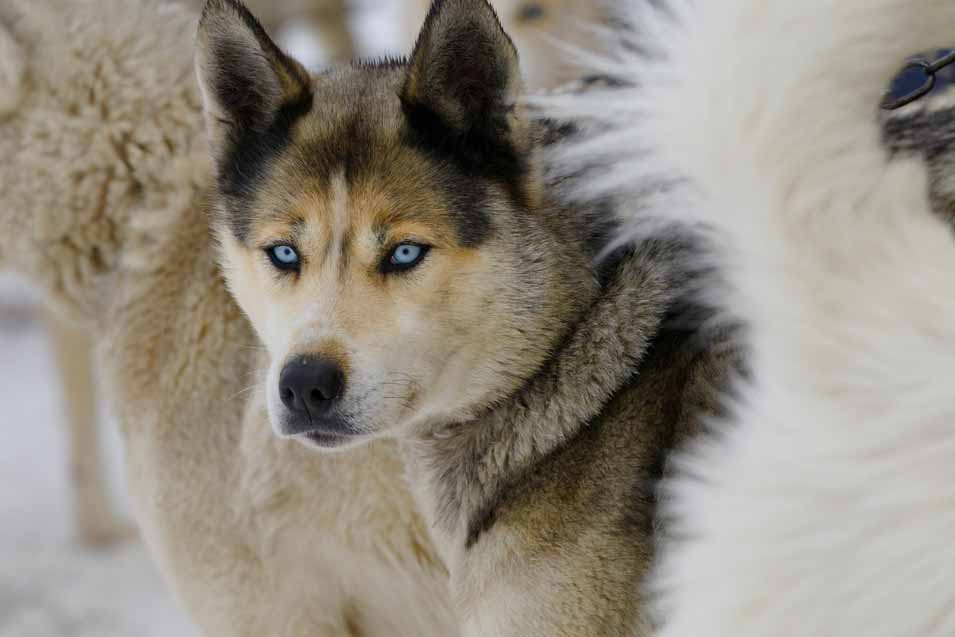 Picture of a Canadian Eskimo Dog