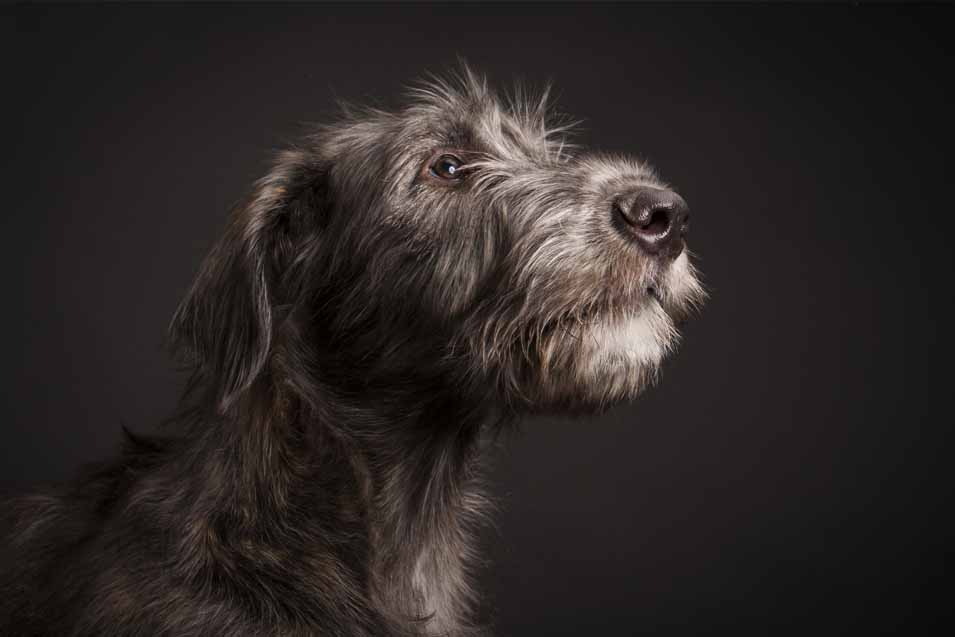 Picture of an Irish Wolfhound