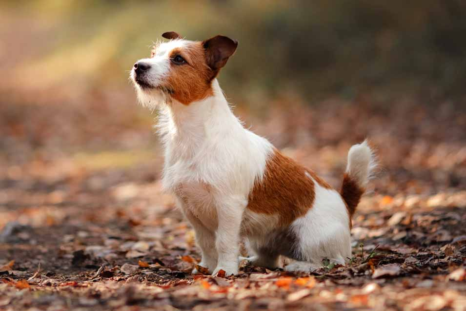 Picture of a Jack Russell in the forest