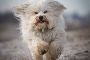 Picture of a white dog running