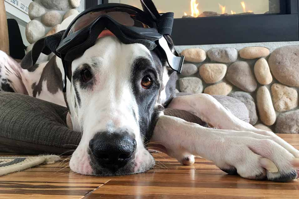 Picture of Great Dane resting