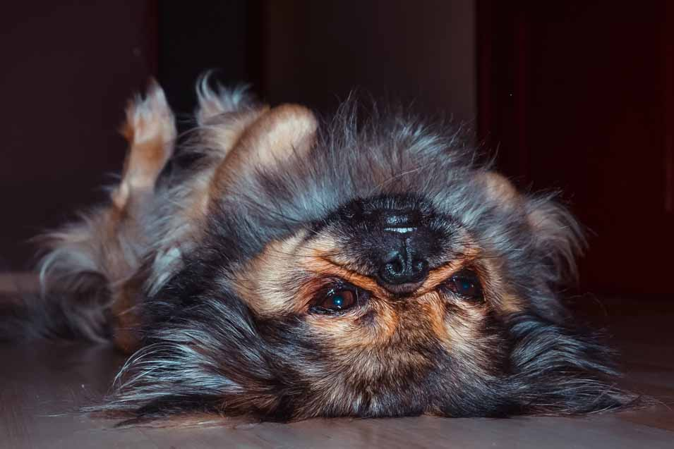Picture of a Pekingese laying on the floor