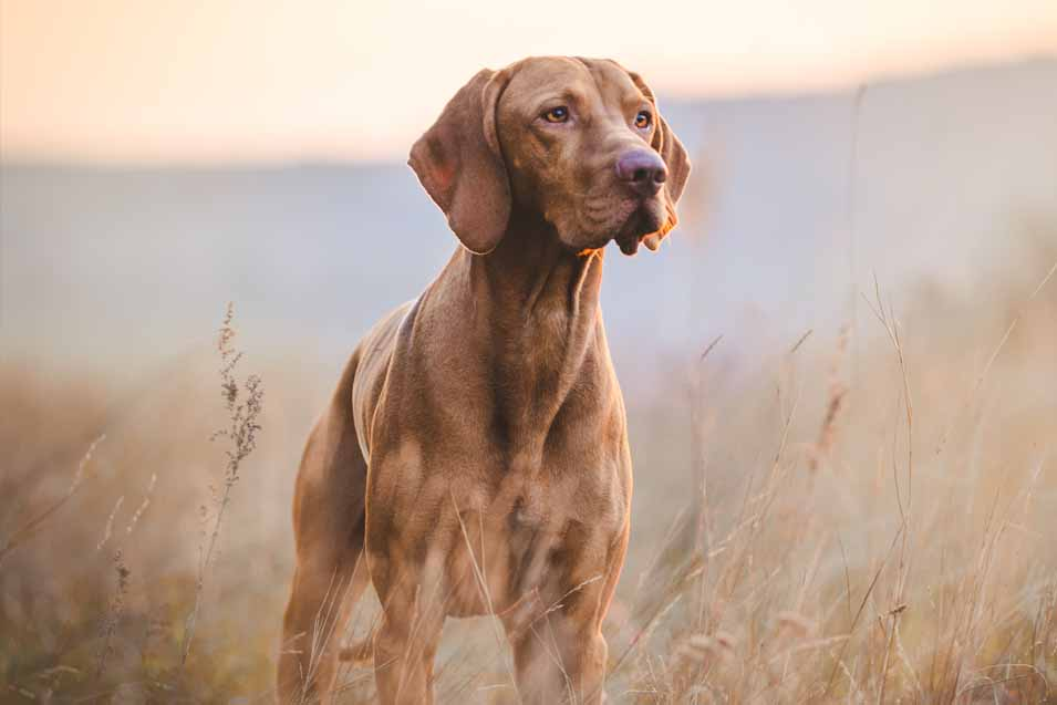 Picture of a sporting dog in a field