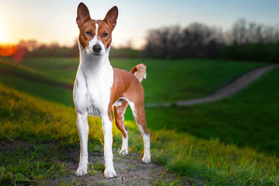 Picture of a Basenji in the field