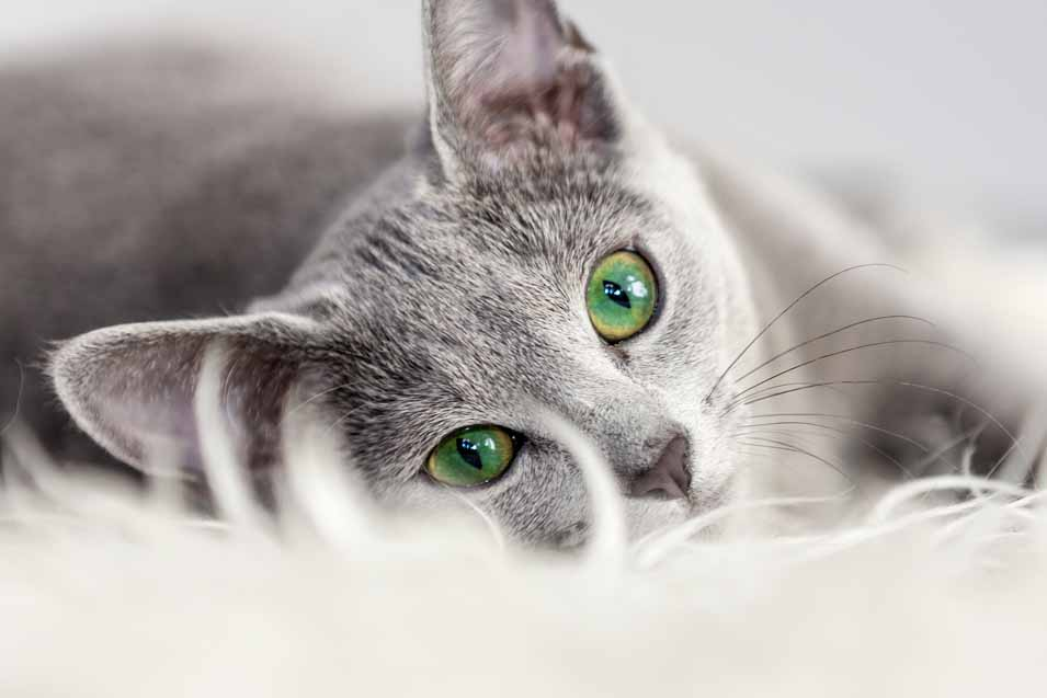 Picture of a grey cat with green eyes
