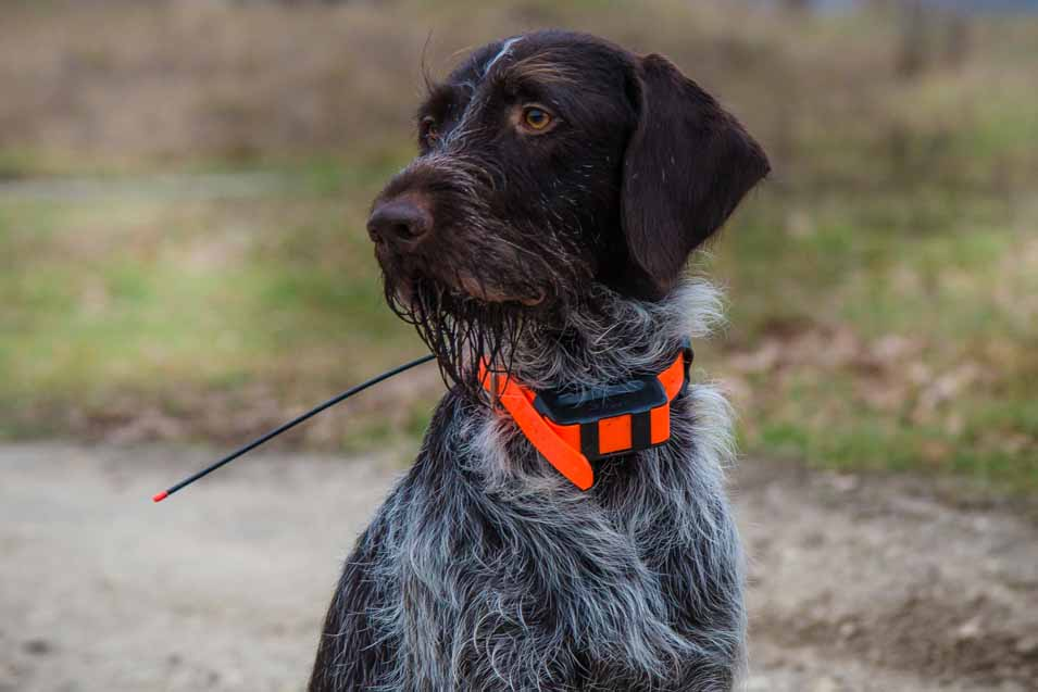 Picture of a dog with a GPS collar
