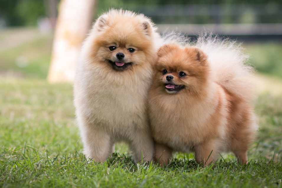 Picture of two pomeranians