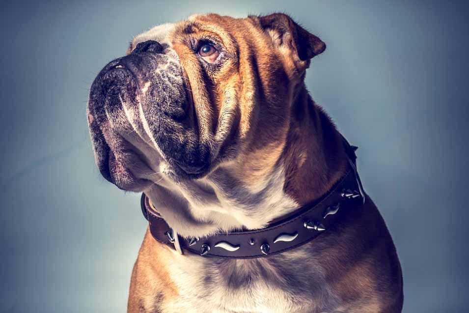 Picture of a Bulldog