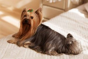 Picture of a Yorkshire Terrier