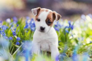 Picture of a Jack Russell Puppy