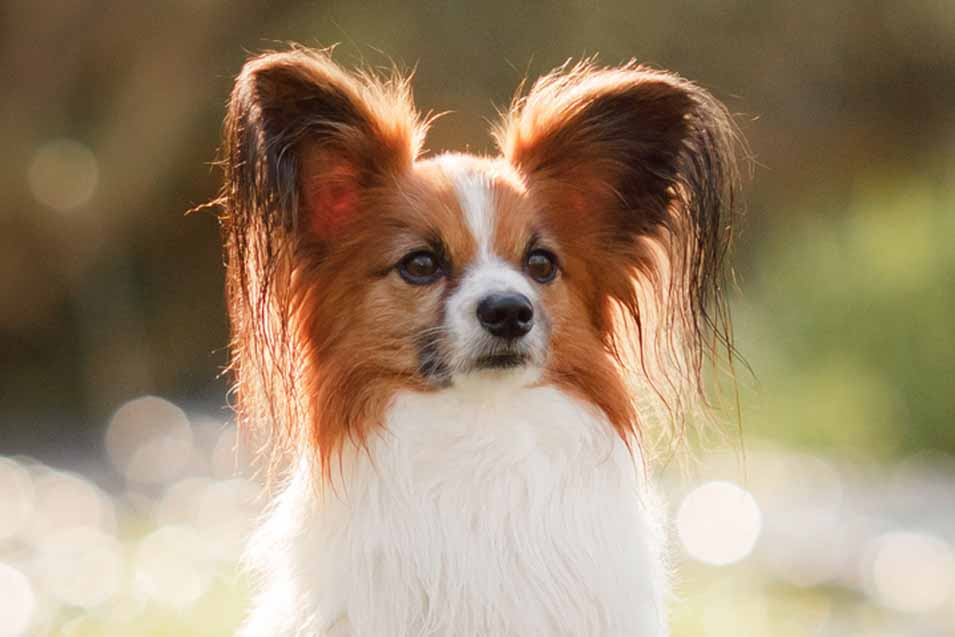 Picture of a Pappion Dog