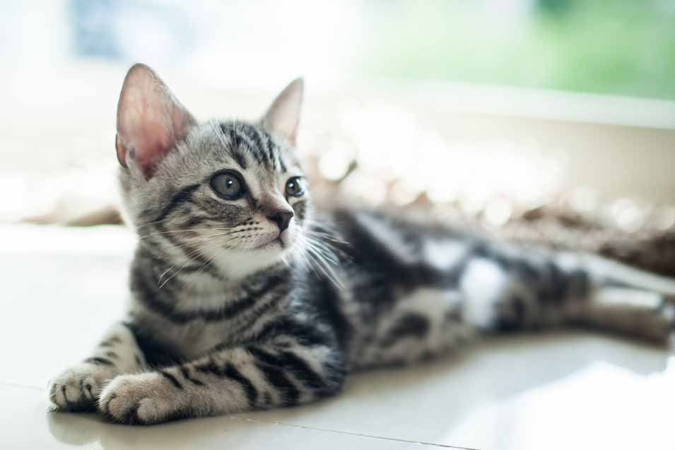 Picture of an American Shorthair Cat