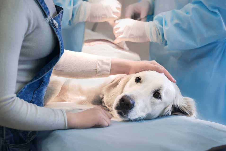 Picture of a Golden Retriever getting an operation