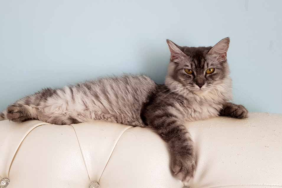 Picture of a long haired cat on the sofa